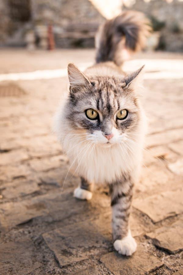 Utomhus- gata för härlig kelig vit grå katt royaltyfria foton