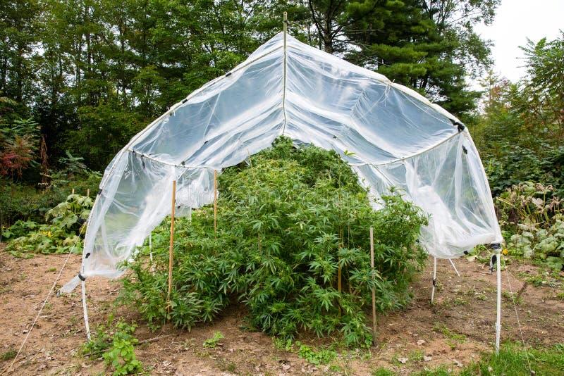 Utomhus- laglig marijuana växer Växter under ett hem gjorde det plast- beslaghuset för att skydda cannabisen från för mycket regn royaltyfri fotografi