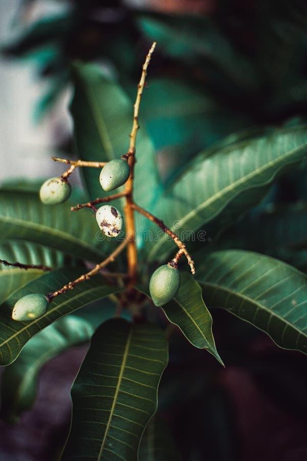Utomhus- litet träd för mango arkivbilder