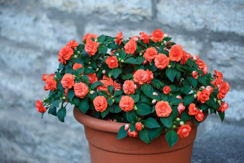 Utomhus- röd begoniablomma i krukan royaltyfria foton