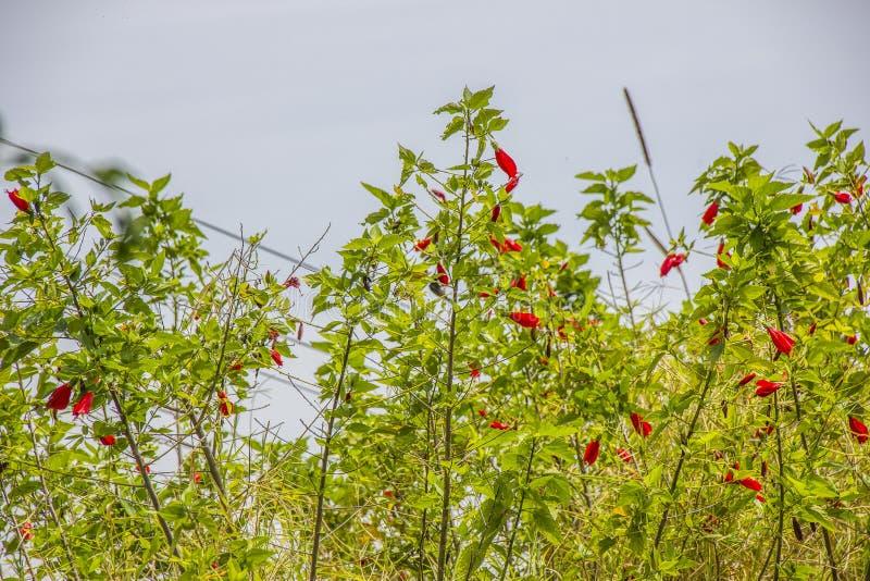 Utomhus- röd hibiskus royaltyfri foto