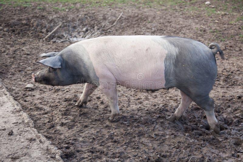 Utomhus- smutsigt gå för svin royaltyfri bild