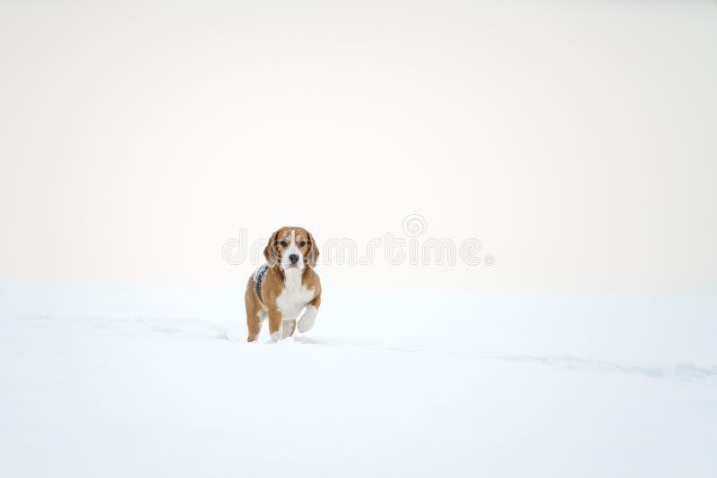 Utomhus- spring för beaglehund i snö fotografering för bildbyråer