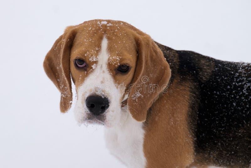 Utomhus- stående för beaglehund i vinter royaltyfri foto