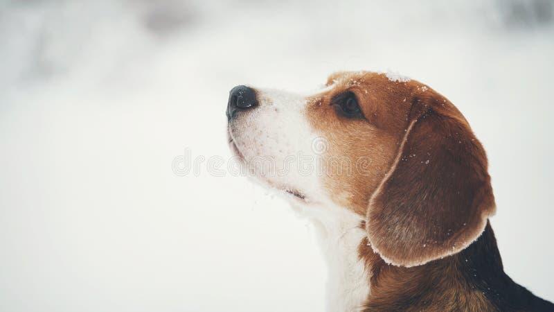 Utomhus- stående för beaglehund som går i snö royaltyfri fotografi
