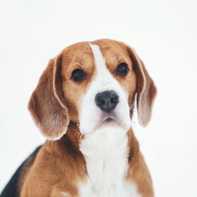Utomhus- stående för ledsen beaglehund som går i snö arkivbilder
