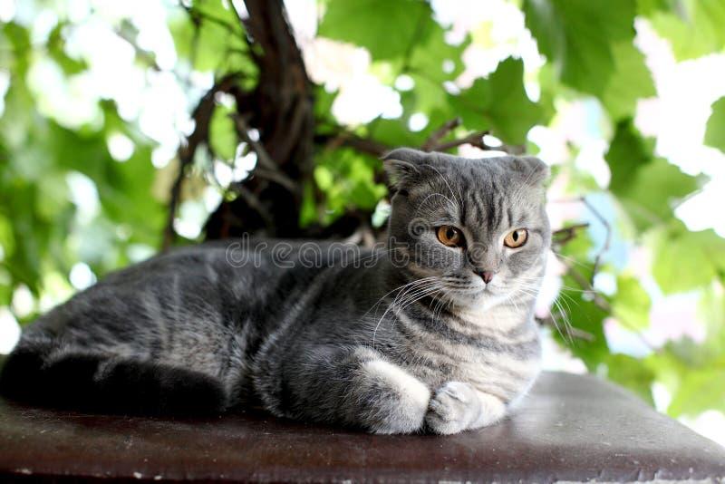 Utomhus- stor grå brittisk katt arkivbild