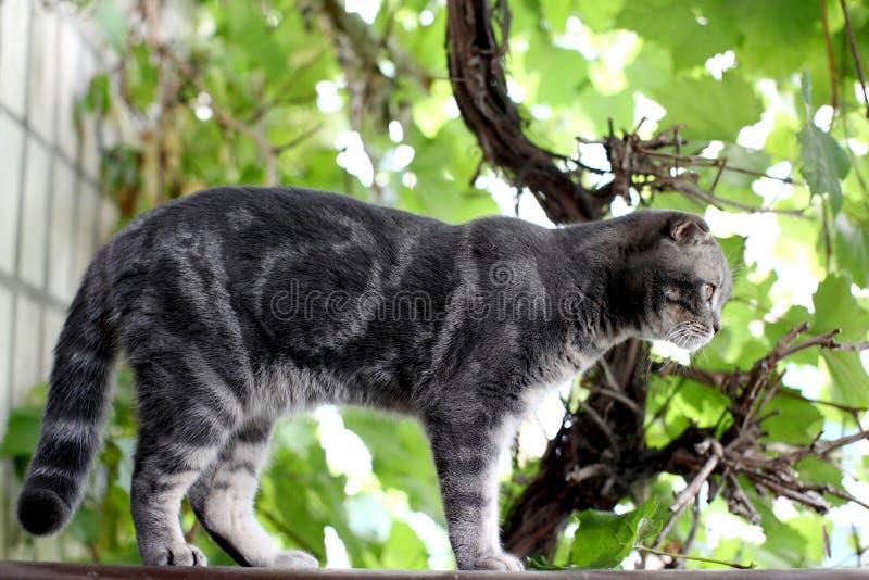 Utomhus- stor grå brittisk katt royaltyfri bild