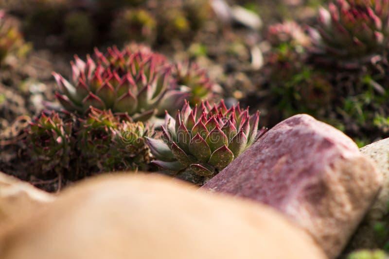 Utomhus- suckulenter, rosa Sempervivum eller sten eller höna och höna arkivbilder