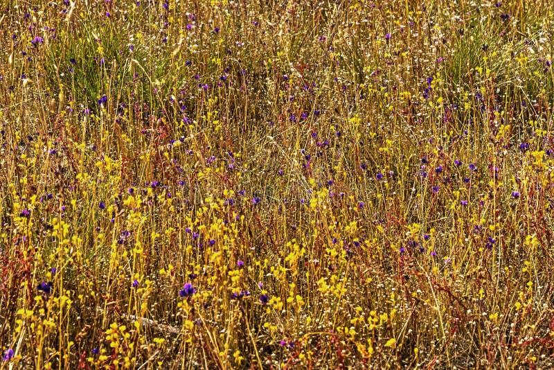 Utricularia bifida e flor dos gtass fotografia de stock