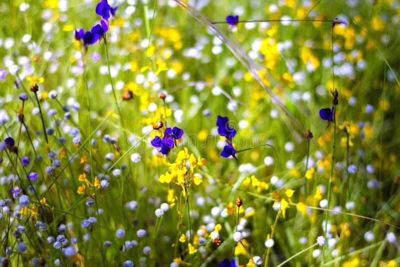 Utricularia bonito com ensolarado fotos de stock
