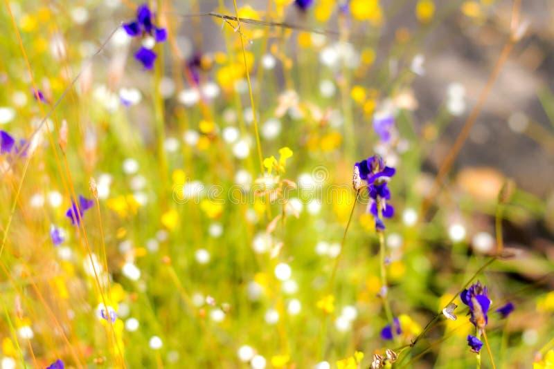 Utricularia da flor exterior foto de stock