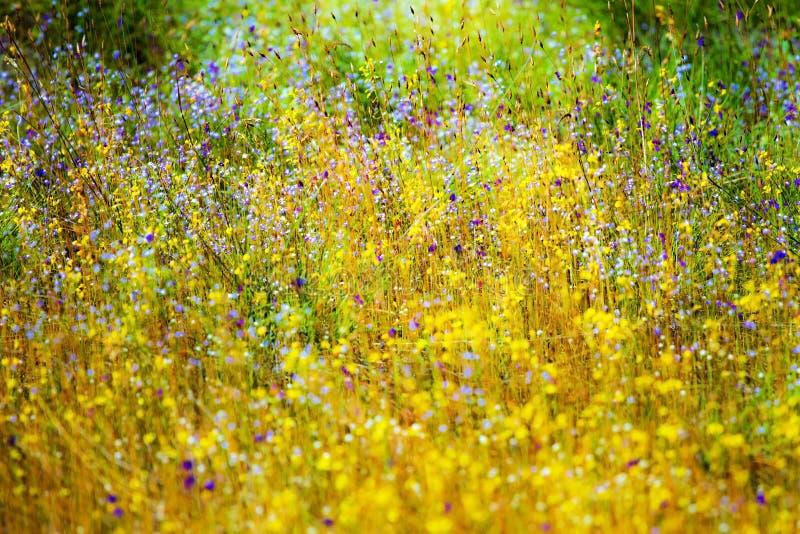 Utricularia de florescência exterior do campo imagens de stock