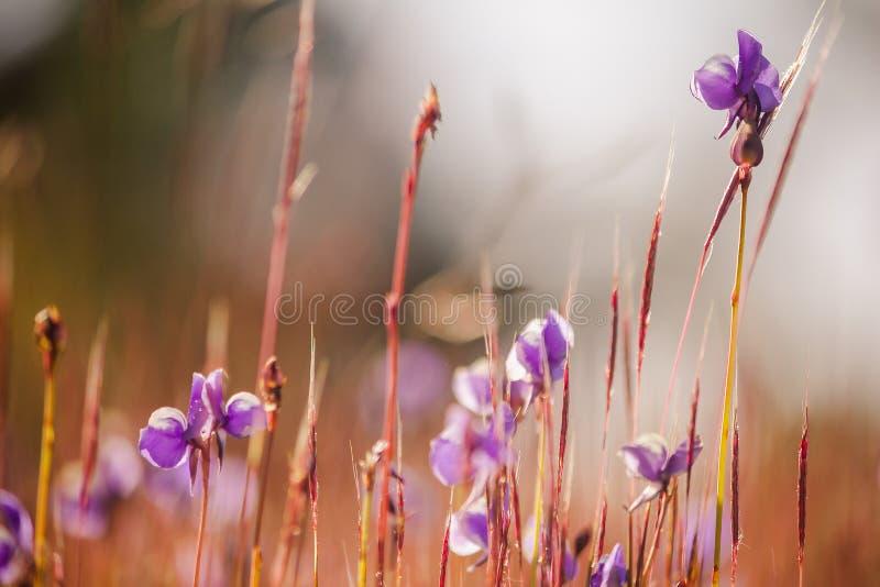 Utricularia delphinioides is een insectenetende plant royalty-vrije stock afbeelding