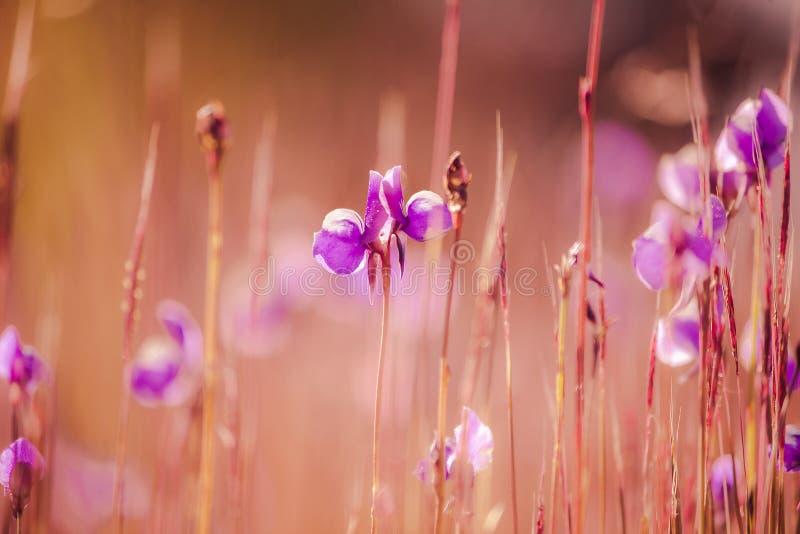Utricularia delphinioides is een insectenetende plant stock fotografie