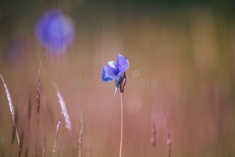 Utricularia delphinioides is een insectenetende plant stock foto's