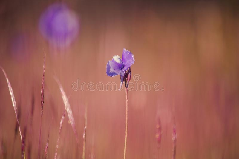 Utricularia delphinioides is een insectenetende plant royalty-vrije stock foto's