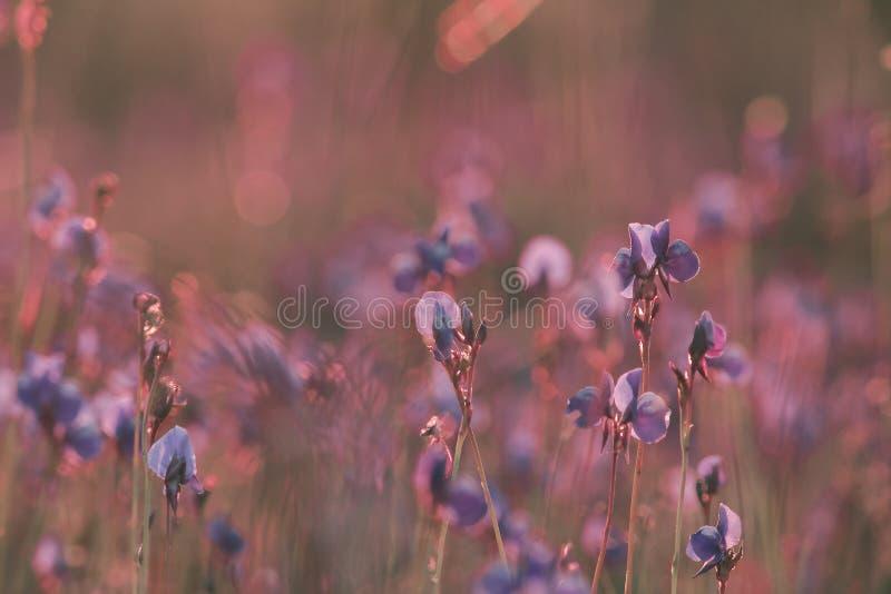 Utricularia delphinioides is een insectenetende plant royalty-vrije stock afbeeldingen