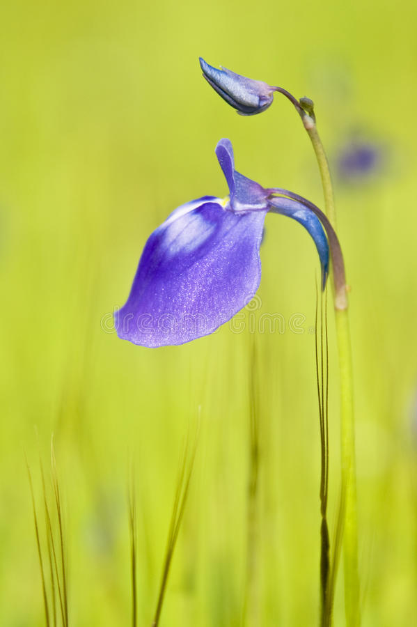 Utricularia purpurascens royalty free stock photos