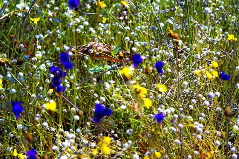 Utricularia que floresce no campo seco foto de stock