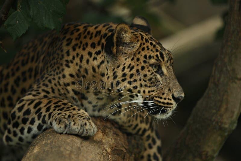 Utsatt för fara amur leopard som vilar på ett träd i naturlivsmiljön royaltyfri fotografi