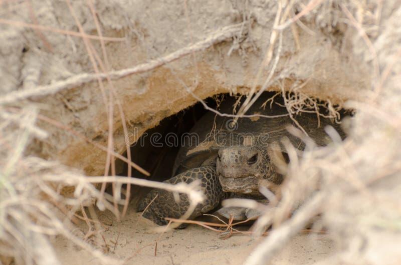 Utsatt för fara goffersköldpadda i håla fotografering för bildbyråer