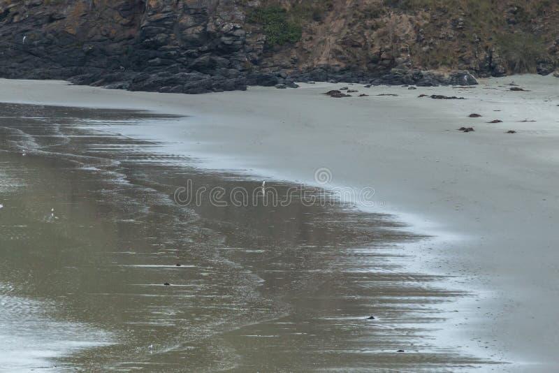 Utsatt för fara guling synade den pingvinMegadyptes antipoder eller hoihoen som går tillbaka till deras reden dunedin New Zealand royaltyfri bild