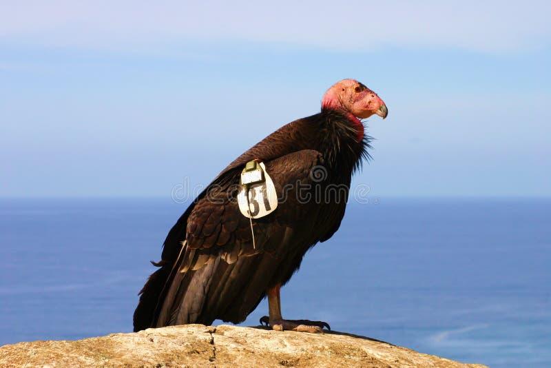 utsatt för fara Kalifornien condor arkivbilder