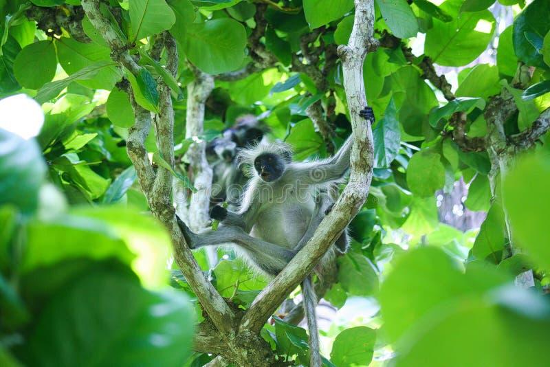 Utsatt för fara röd familj Piliocolobus, Procolobus kirkii för colobusapa i träden av den Jozani skogen, Zanzibar arkivbild