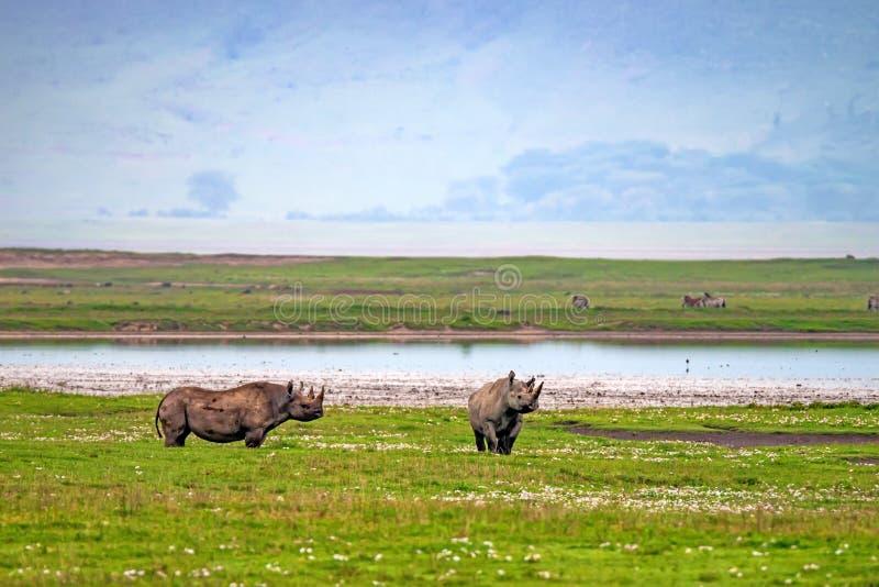 Utsatt för fara svart noshörning royaltyfri fotografi