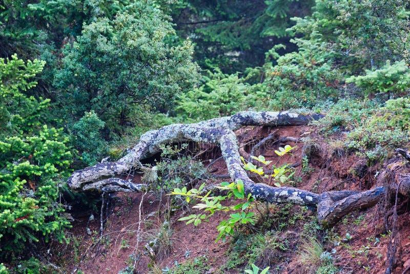 Utsatta Lichen Covered Pine Tree Roots, grekiska berg fotografering för bildbyråer