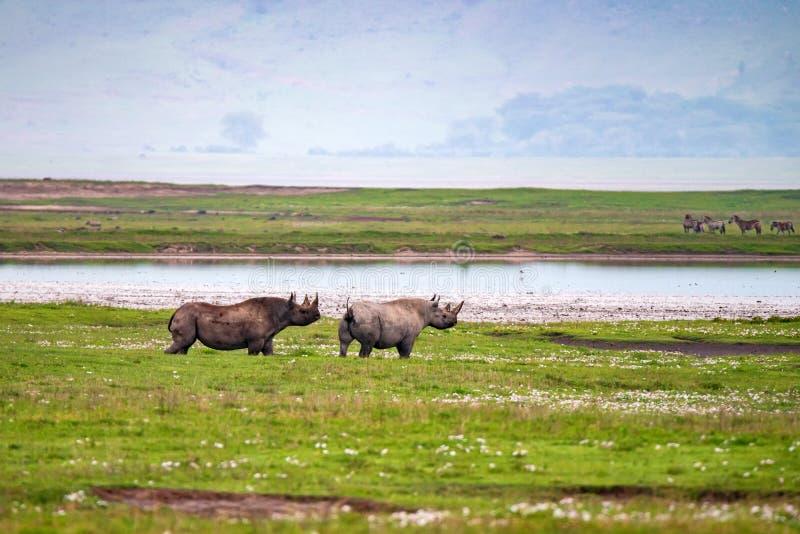 Utsatte för fara svarta noshörning eller Dicerosbicornis i afrikansk savannah arkivbilder