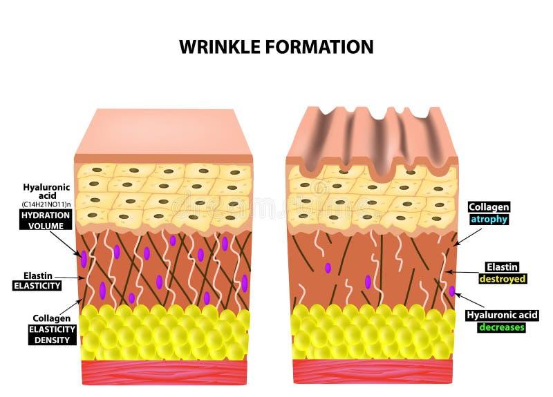 Utseendet av skrynklor Anatomisk struktur av huden Elastin Hyaluronic syra, Collagen Infographics hud stock illustrationer