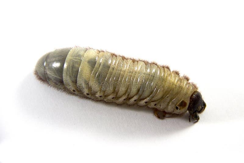 Utskjutande larver arkivfoton