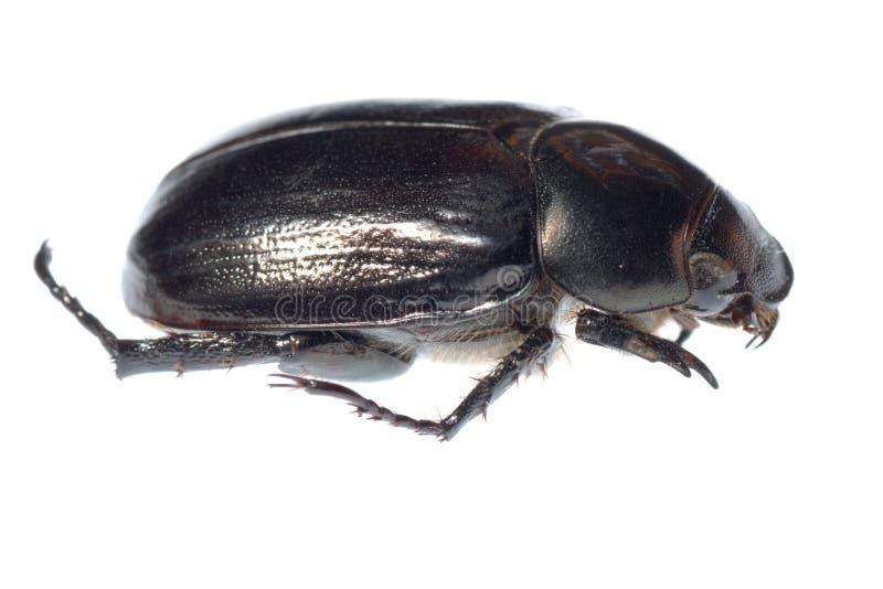 utskjutande svart scarab royaltyfri foto