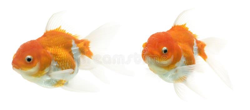 utsmyckad guldfiskserie arkivbilder