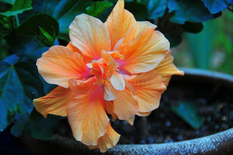 Utsmyckad hibiskusblomma - persika - apelsin - rosa färg royaltyfria foton