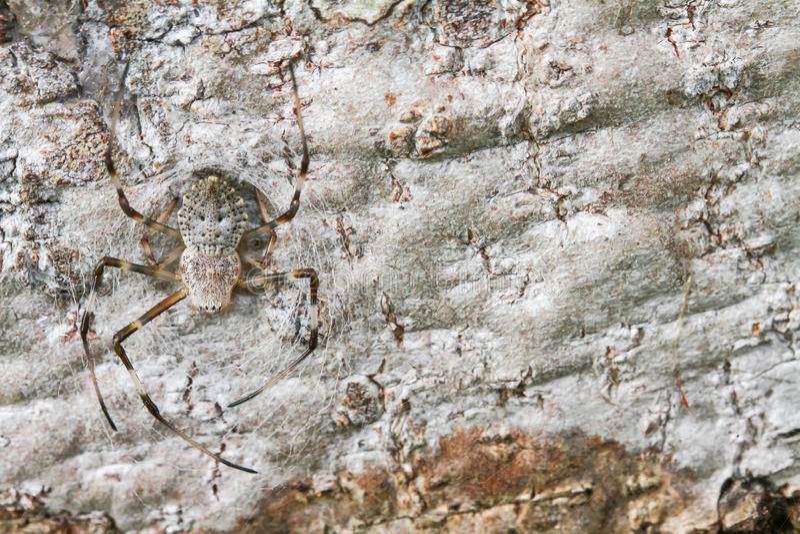 Utsmyckad orb-vävare för spindel arkivbild