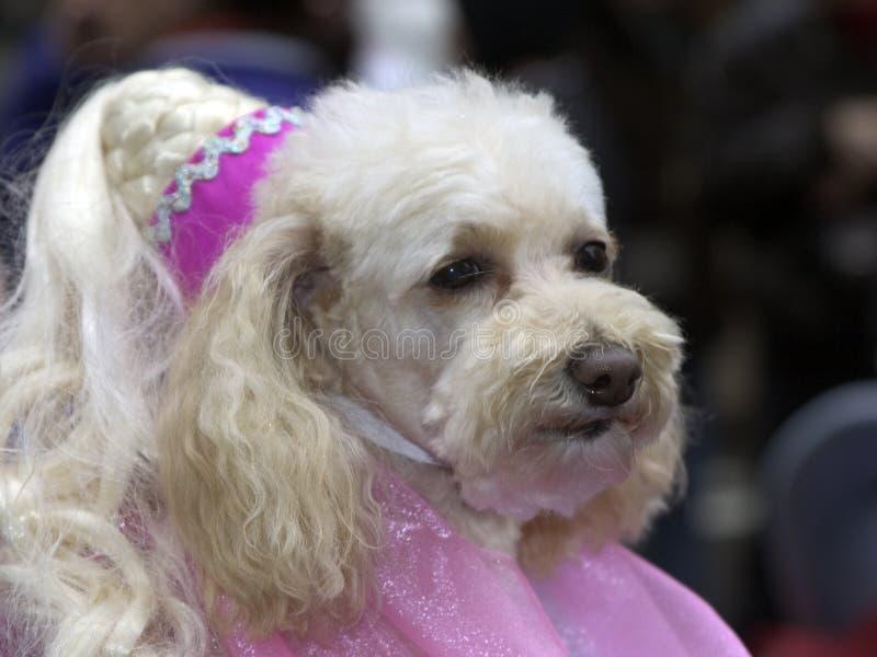 utsmyckad poodle royaltyfri foto