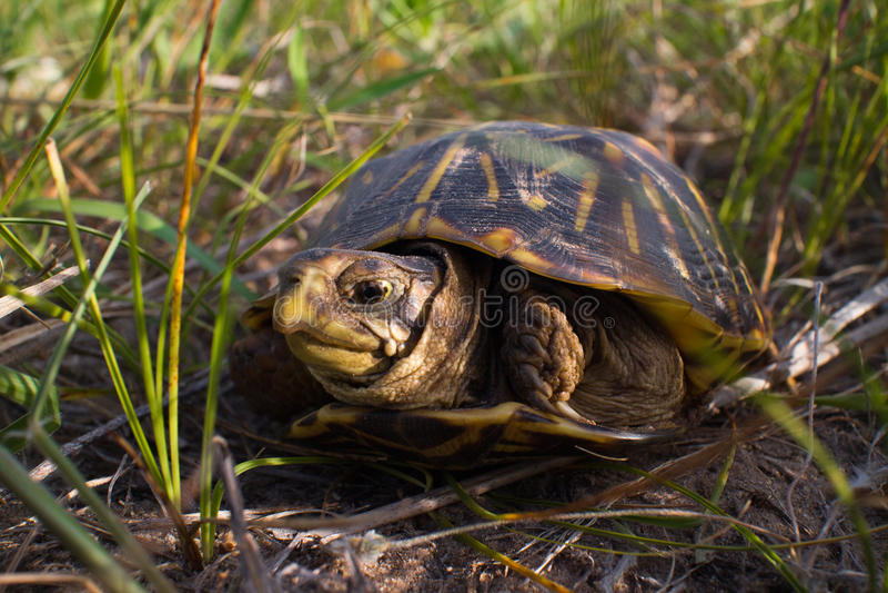 utsmyckad sköldpadda för ask royaltyfri foto