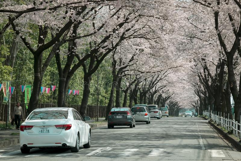 Utsunomiya Japan 6 April 2016; toeristen drijfauto's door Sakura-bomen stock foto