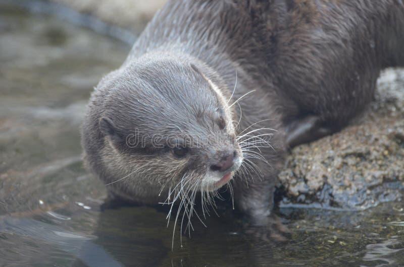 Utter på kanten av vattnet som doppar hans morrhår i vattnet arkivfoto