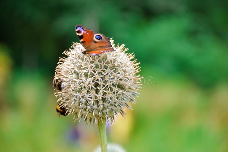 Utterfly του ματιού Peacock στο σφαίρα-διαμορφωμένο λουλούδι στοκ φωτογραφίες