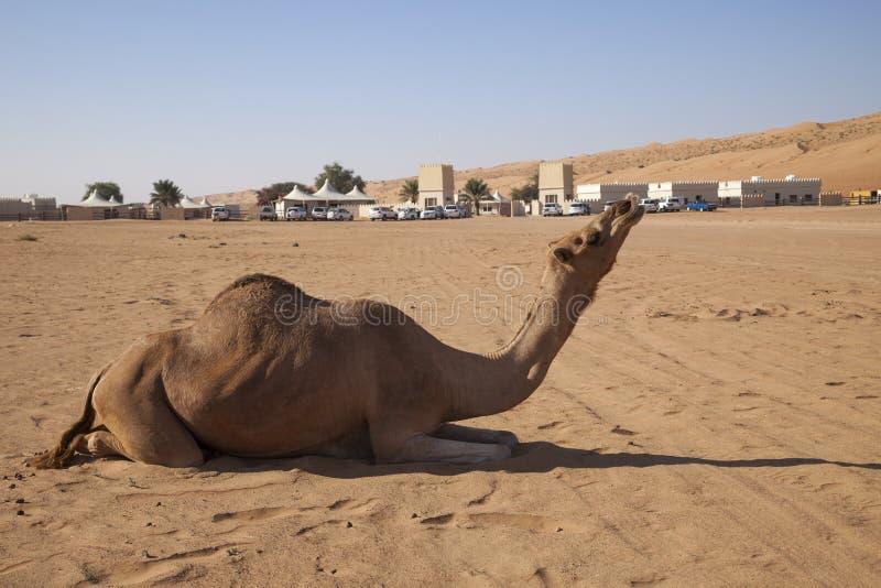 Uttrycksfull kamel i Oman royaltyfri fotografi