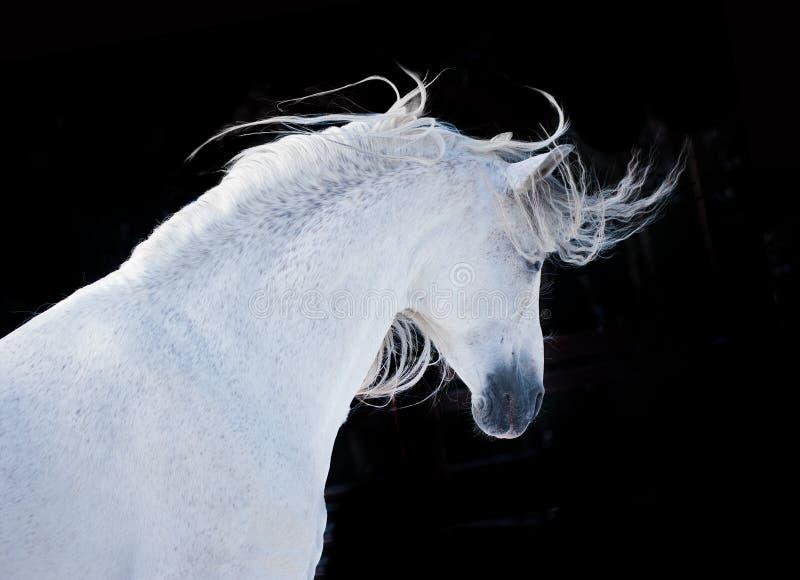 Uttrycksfull vit andalusian häststående på svart bakgrund royaltyfri foto