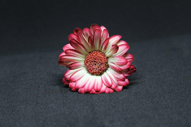 uttryckt nöje för makro för förälskelse för livstid för gerbers för blommablommagerbera som är sol- till fotografering för bildbyråer