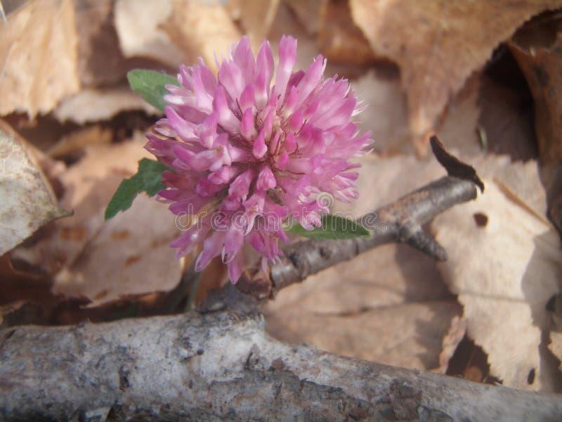 Utumn λουλούδι τριφυλλιού Ð  στοκ φωτογραφία