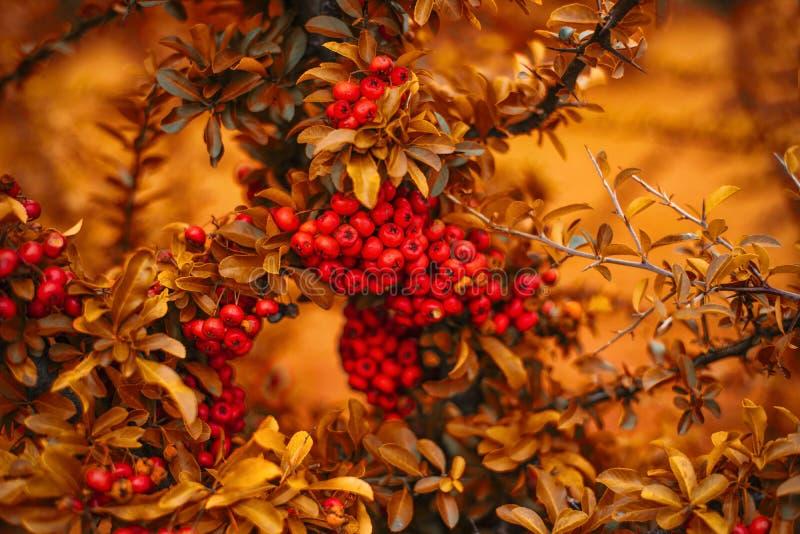 Utumn rowan gałąź z kolorem żółtym opuszczają jesieni tło z jaskrawymi gałąź Jesieni jagody Jaskrawy tło jesień obrazy stock