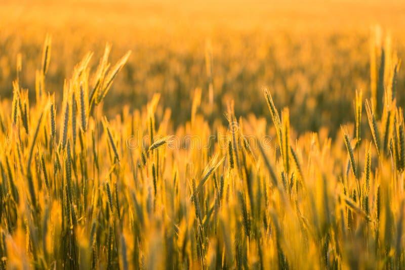 Utvändig stad för kornfält royaltyfria bilder