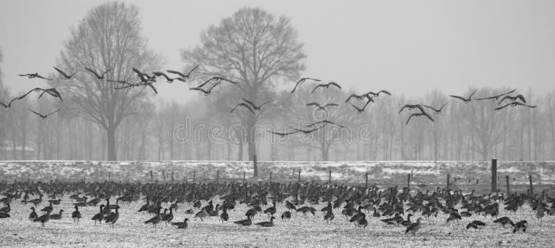 Utvandrande gäss som söker efter föda på grässlätt i vinter royaltyfria foton